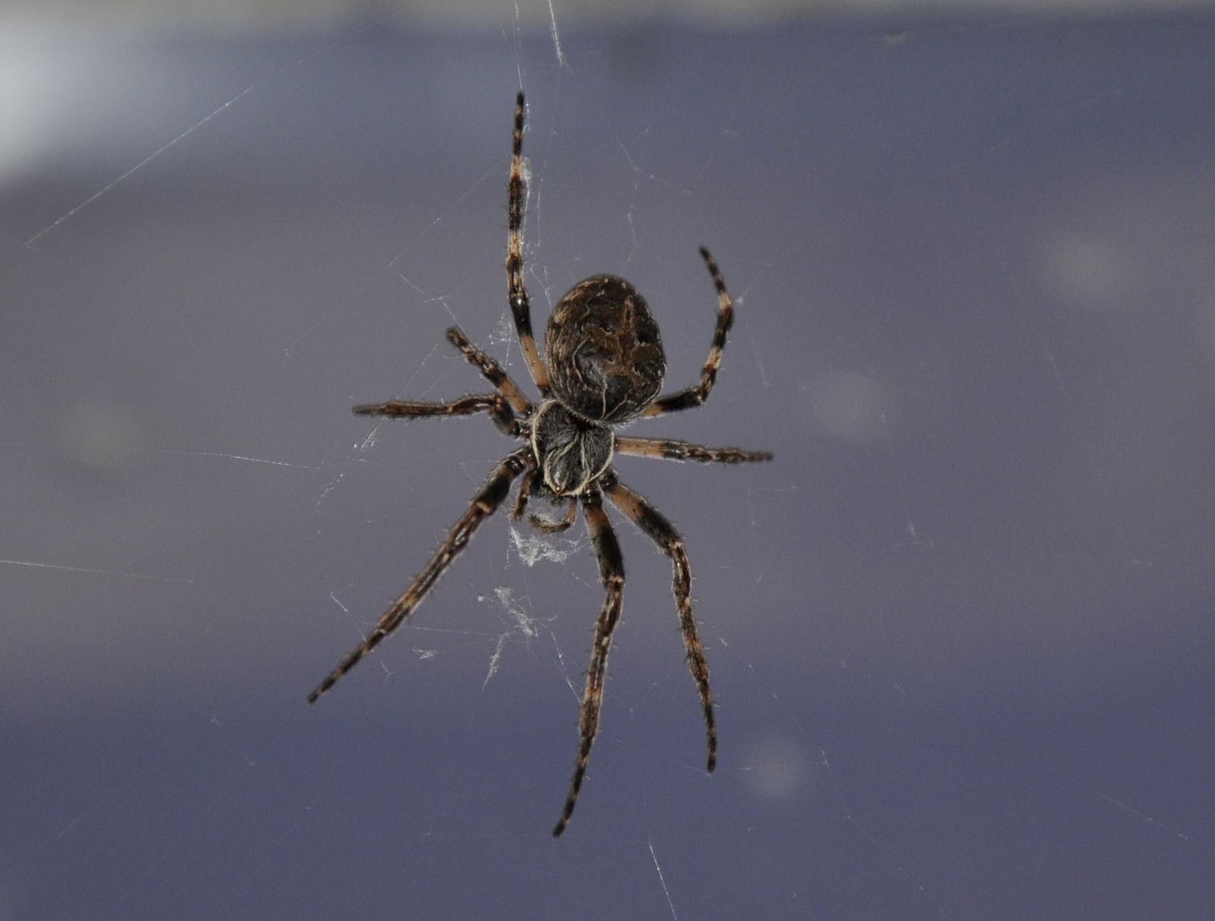 Spindel i fönstret