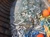110606Strommingsfiske